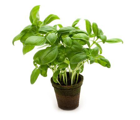 fresh basil on white background