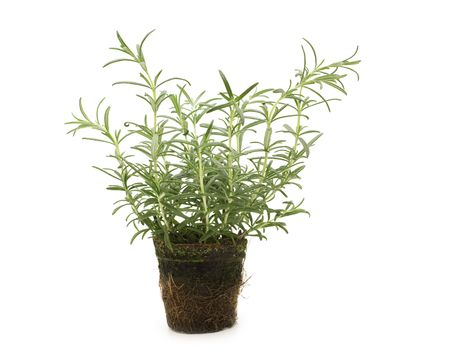 fresh rosemary on white background Stock Photo - 3826108