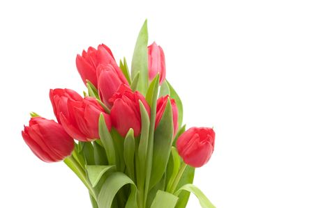 red tulips on white background photo