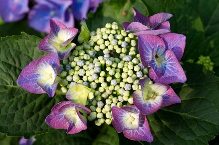 hydrangea macrophylla: Glowing Hydrangea macrophylla in the garden Stock Photo