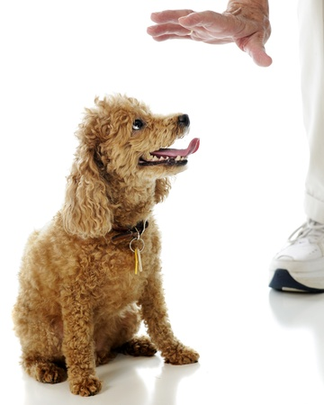 A toy apricot poodle looking at an elderly man