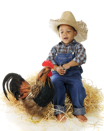 An adorable preschool farm boy sitting on a haystack while feeding a rooster from a tiny pail.  On a white background.