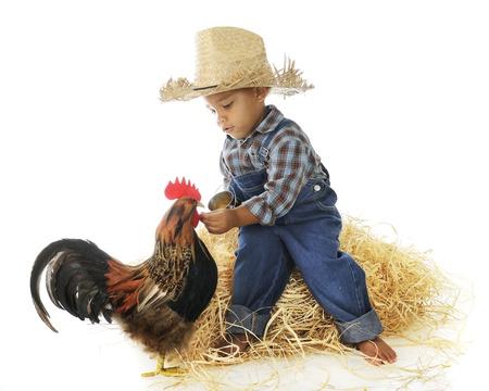 An adorable preschool farm boy hand feeding a rooster.  On a white background.