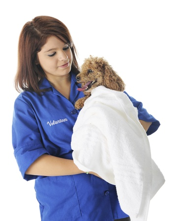 A pretty young vetinarian volunteer comforting a poodle-patient whose wrapped in a white towel.  On a white background. Stock Photo - 17036303