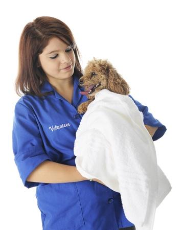 whose: Un voluntario vetinarian bastante joven que conforta a un caniche-paciente cuya envuelta en una toalla blanca. En un fondo blanco.