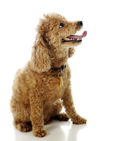 Portrait of a toy apricot poodle.  On a white background.