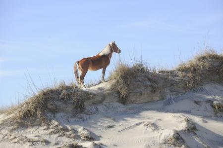 A beautiful wild mustang standing regally atop a North Carolina sand dune. Imagens