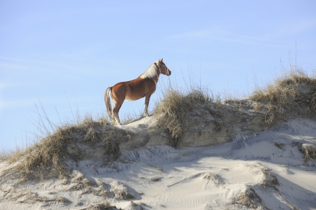A beautiful wild mustang standing regally atop a North Carolina sand dune. Imagens