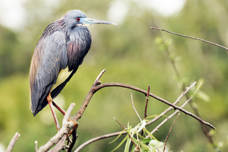 beack: Side-view, close-up image of a little blue heron perched on a twig. Stock Photo