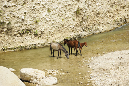 Two horses and a cold standing in and drinking water from a mountain stream in rural Haiti. photo