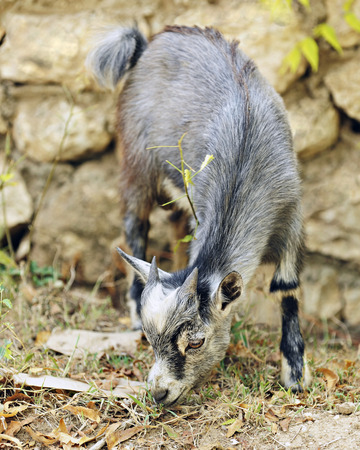 billy goat: An adorable juvenile gray billy goat munching on grass by a rock wall   Shallow depth of field with focus on the goat Stock Photo