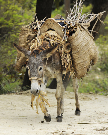 working animal: A burro eating leaves while walking a dirt trail with a large load on his back.