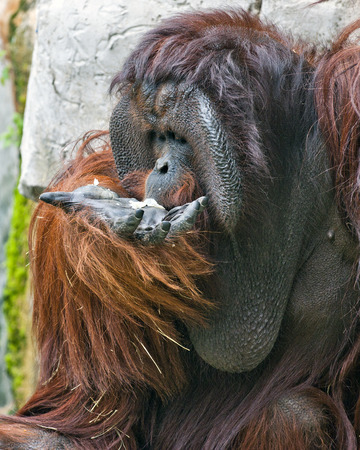 An adult male orangutan eating from his own opened hand. Stock Photo