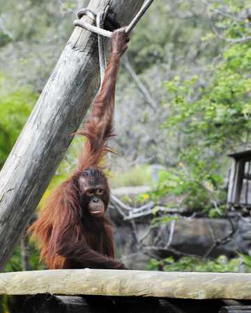 A hairy red orangutan sitting with an upstreched arm, hanging on to a rope. Stock Photo