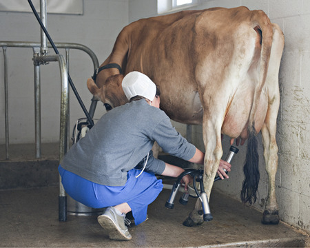 jersey cow: An Amish woman placing the cups from the miling machine onto the teat of a jersey cow.