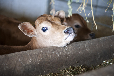 jersey cattle: Closeup image of a young Jersey calf with his chin propped against the empty feeding trough.