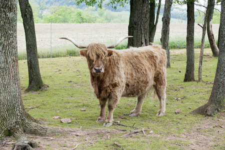 Outdoor portrait of a shaggy highland cattle looking at the viewer amond spring trees and plowed farmland.