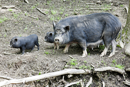 potbelly: A black mama potbelly pig with two of her babies all living in the wild. Stock Photo