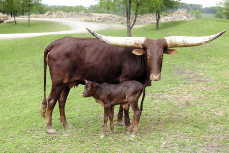 teats: A reddish-brown watusi cow looking at the viewer as she stands with her young calf. Stock Photo