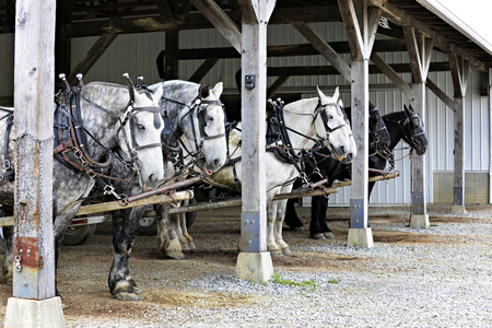 overhang: Six horses hitched up to wagons (not visible in image) under a barn overhang. waiting to begin their work day.