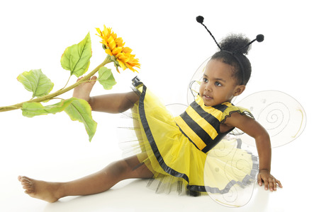 bee on white flower: An adorable two year old wearing a bumble bee outfit with wings, sitting on the floor happily pushing a sunflower with her foot.  On a white background.