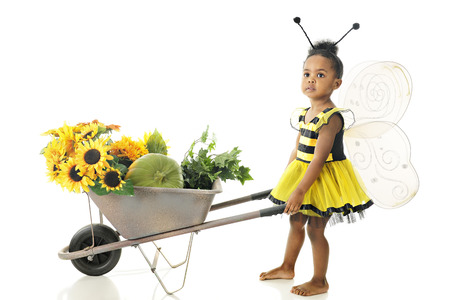 An adorable preschool girl in a Bumble Bee outfit pushing a wheelbarrow full of sunflowers while looking up for others.  On a white background. photo
