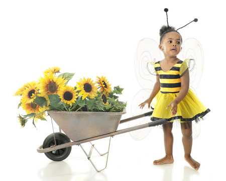 An adorable 2 year old worker bee asking where she should haul her wheelbarrow full of sunflowers.  On a white background.