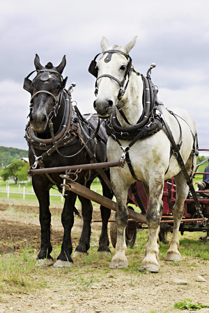 hitched: Vertical image of a black and a white work horse yoked together and  hitched up to a cultivator. Stock Photo