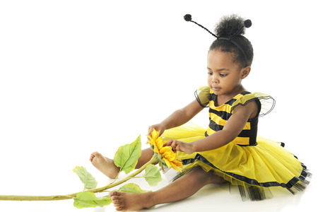 2 year old: An adorable 2 year old bumble bee playing with a sunflower.  On a white background.