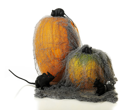 overrun: Two pumpkins covered in a tattered old mesh overrun with 3 black mice and a big black rat.  On a white background. Stock Photo