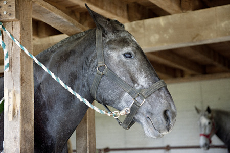 rafters: Close-up image of a horses head as he stands in a wooden frame ready to be shoed.