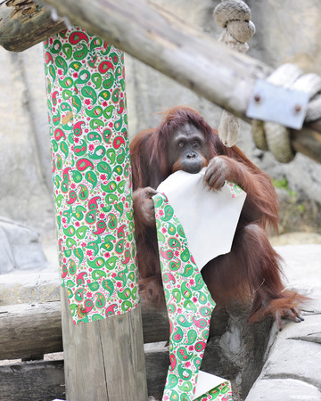 christmas wrapping paper: an adult orangutan contentedly chewing on red and green Christmas wrapping paper.