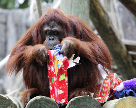 yule: An orangutan peeking into a Christmas gift.