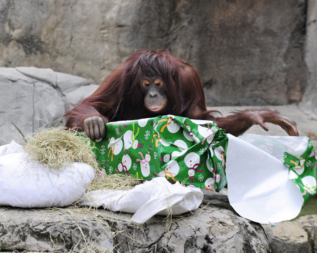 unwrapping: An adult orangutan unwrapping a Christmas gift. Stock Photo