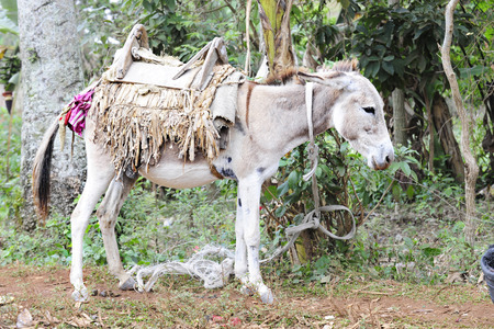 padding: A saddled-up donkey standing quietly as hes tethered to a tree.
