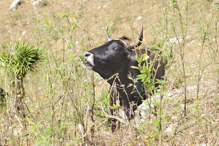 nibbles: Closell-up image of a black bull looking at the viwer as he nibbles on scrub brush. Stock Photo