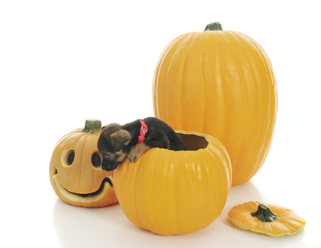 An adorable puppy attempting to climb out of a hallowed out pumpkin.  On a white background.