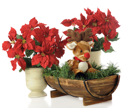 strapped: A toy fawn with a strapped-on red nose in a half-barrel among potted  poinsettias.  Isolated on white.