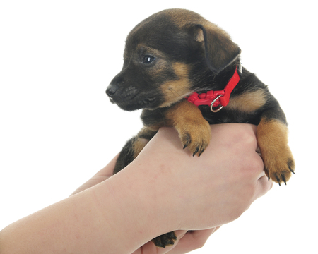 Closeup of a young female's hands holding tiny mixed-breed puppy.  On a white background.