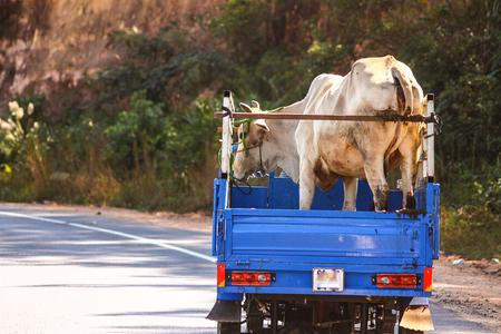 Cow transporter in Vietnam