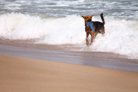 Playful German shepherd dog on the edge of the sand