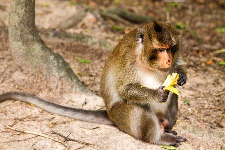 A monkey in Cambodia enjoys a banana Stock Photo