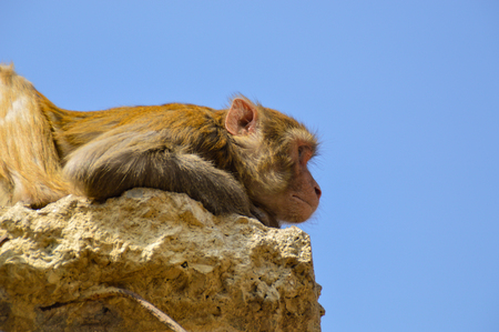 Rhesus monkey while relaxing in the Swayambunath temple, Nepal