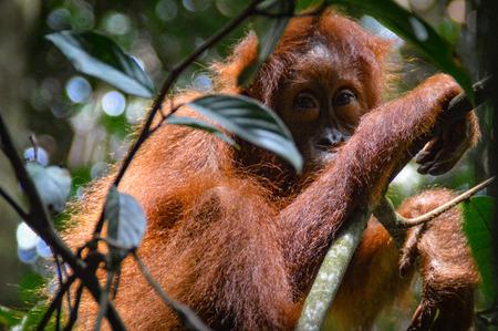 An orangutan cub hides the jungle of Sumatra in the leafy roof