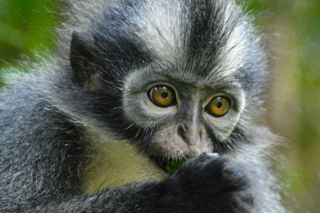 A porttrait of a Thomas leaf monkey staring into the empty space Stock Photo