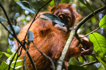 An orangutan cub tries to hide in the leafy roof of the jungle of Sumatra