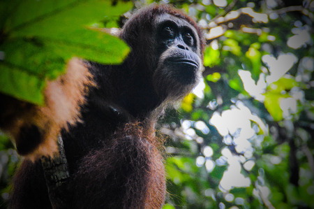 An orangutan looks out of its hiding place in the leafy roof Stock Photo