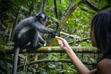 a Thomas leaf monkey gets a piece of cucumber from a girl
