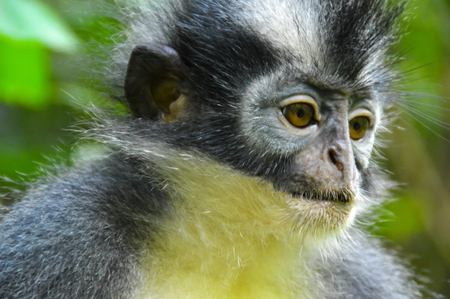A portrait from the side of a Thomas leaf monkey Stock Photo