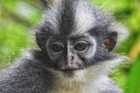 a thomas leaf monkey portrait